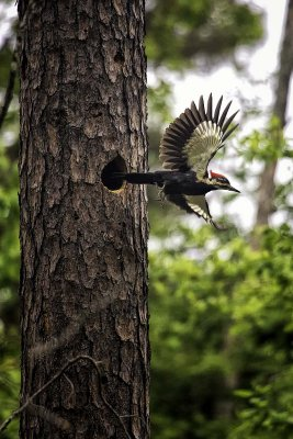 Pileated Woodpecker Leaving Nest