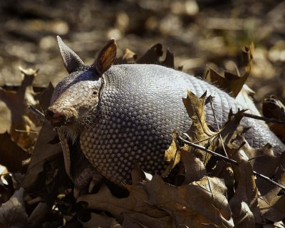 Armadillo, Head Up Pose