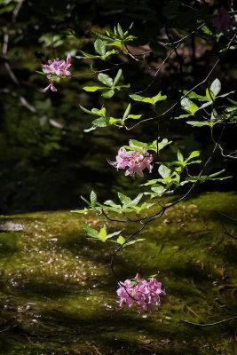 Mountain Azaleas by Runoff