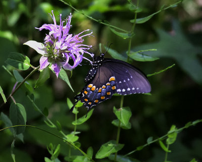 Spicebush Swallowtail on Horsemint in Filtered Light