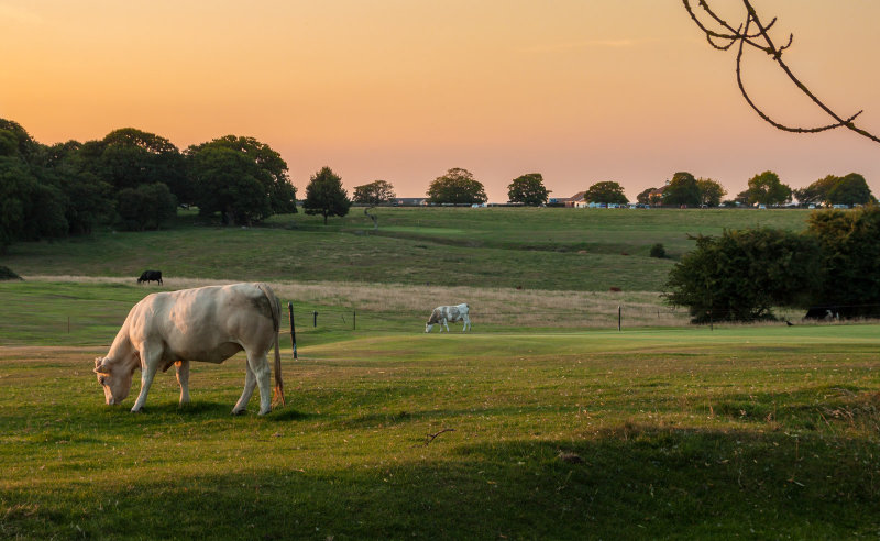 cows at dusk IMG_4735.jpg