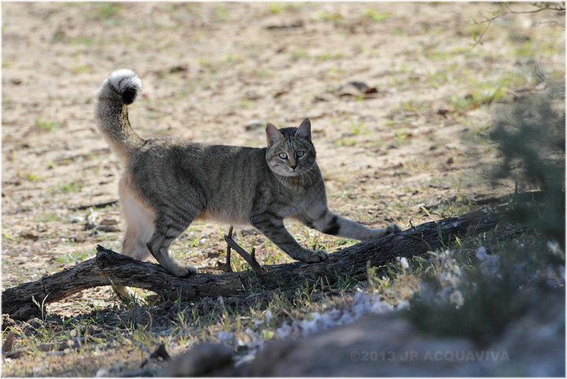 Chat sauvage - african wildcat.JPG