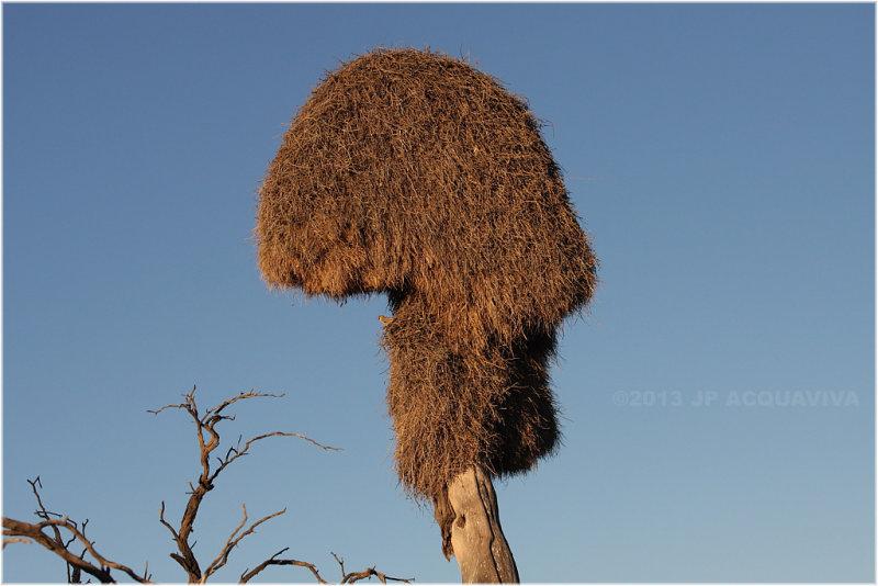 nid de tisserins - weaver nest.JPG