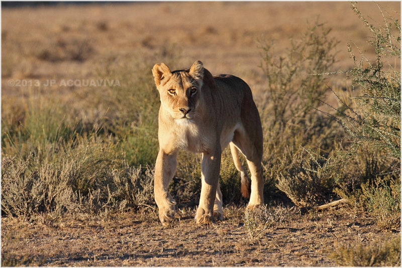Lionne au petit matin - early morning lioness.JPG