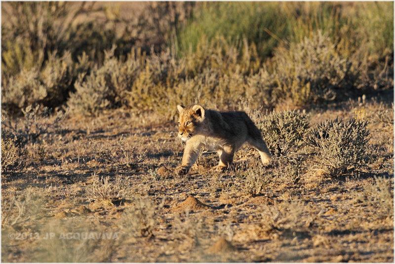 Lionceau suivant sa mère - lion cub following mom.JPG