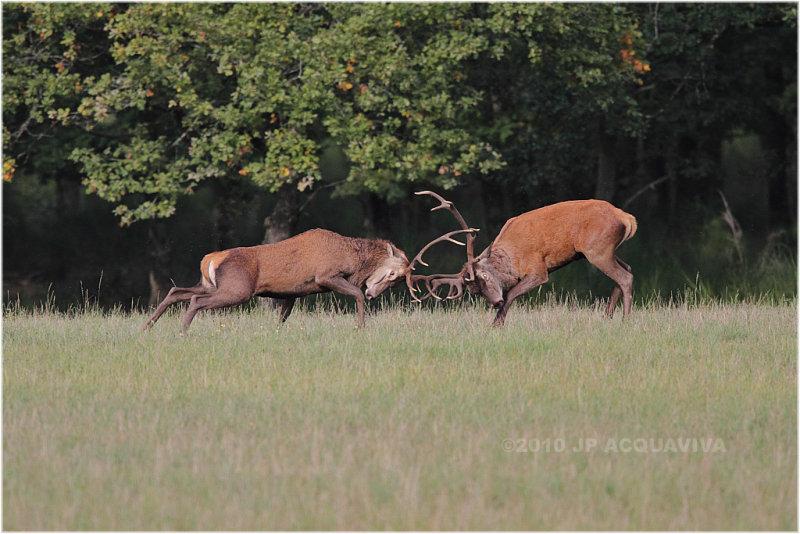 Combat de cerfs - red deer fight.JPG