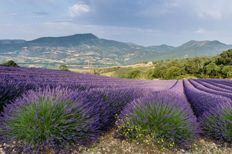 Lavender field  Sainte-Jalle valley