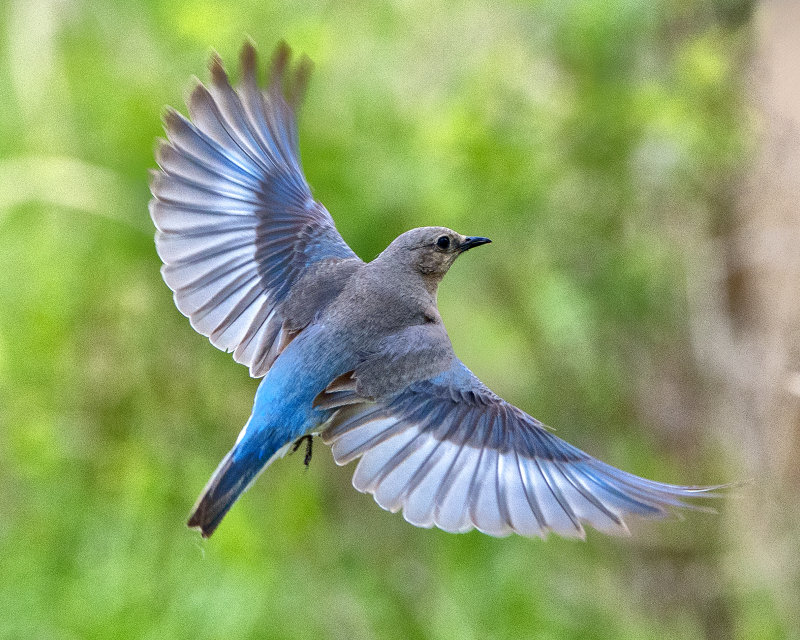 _DSC2495.jpg The Female Mountain Bluebird