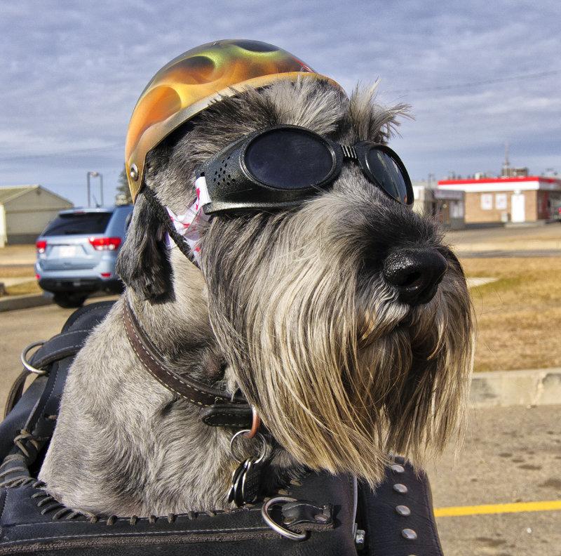 _DSC0714a.jpg  Biker Dog