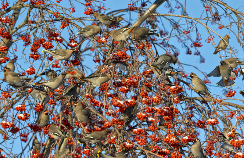 _DSC0773.jpg     Waxwings and Mountain Ash Berries