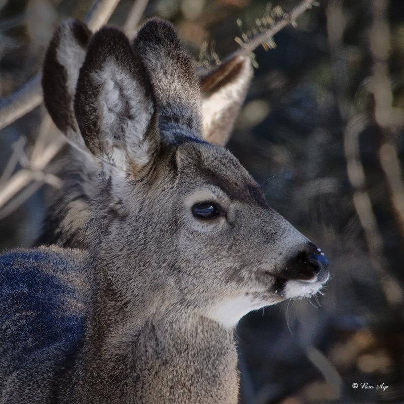 _DSC5209pb.jpg  Mule Deer Doe
