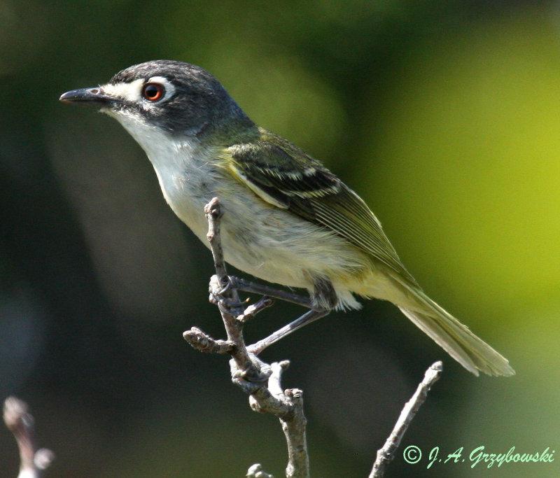 Black-capped Vireo--female