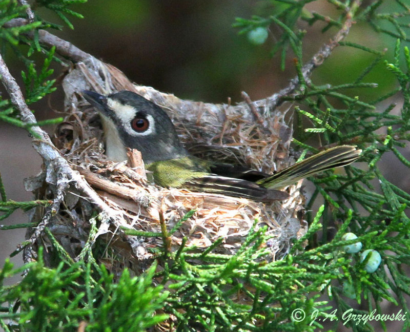 Black-capped Vireo--female