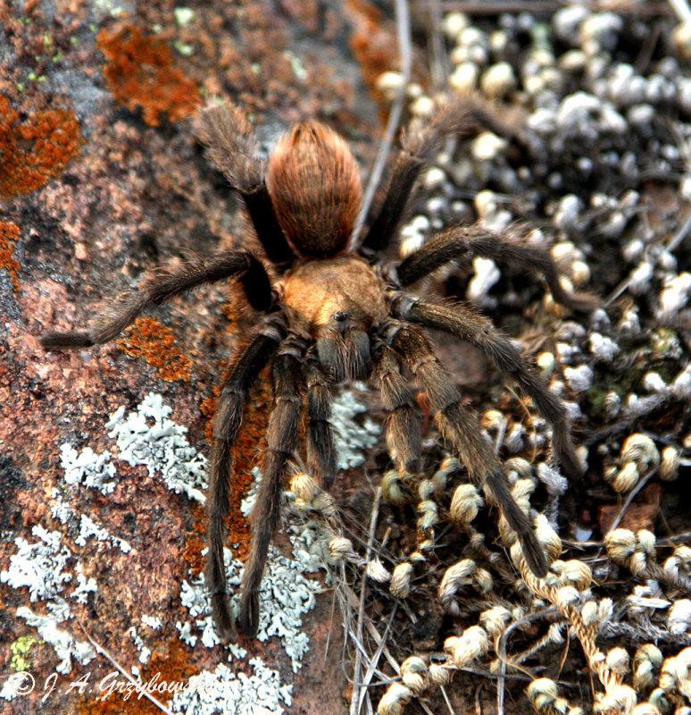 [Oklahoma Brown] Tarantula (Aphonopelma baergi)