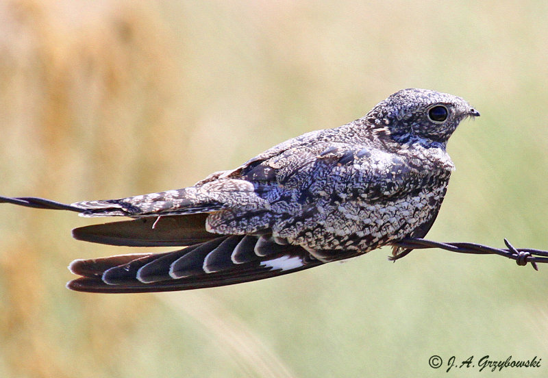 Common Nighthawk on barbwire fence