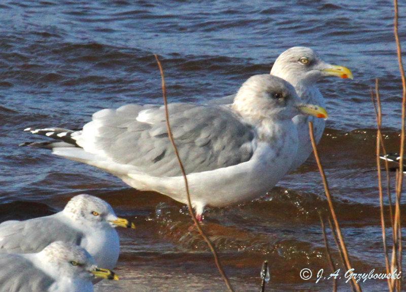 Thayers Gull/Herring Gull comparison