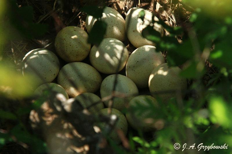 Wild Turkey nest