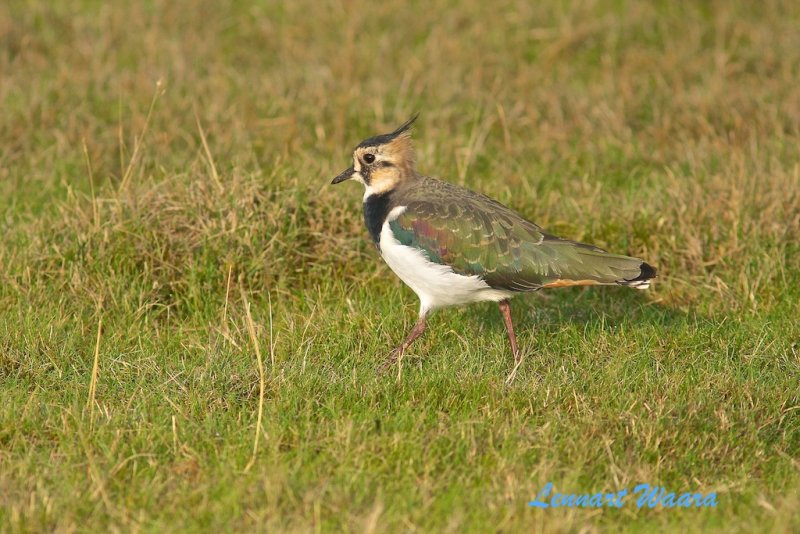 Northern Lapwing/Tofsvipa/