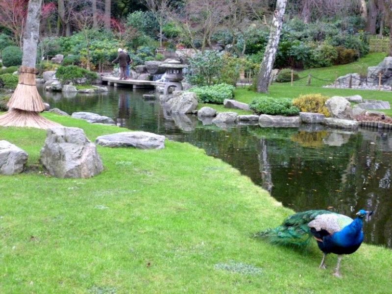 Peacock in Kyoto Garden