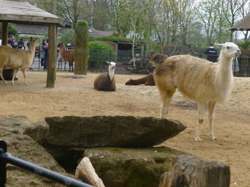 Llamas at the childrens zoo