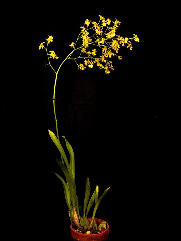 20124663  -  Oncidium  lykaiosii Orchiddoc CBR/AOS.jpg