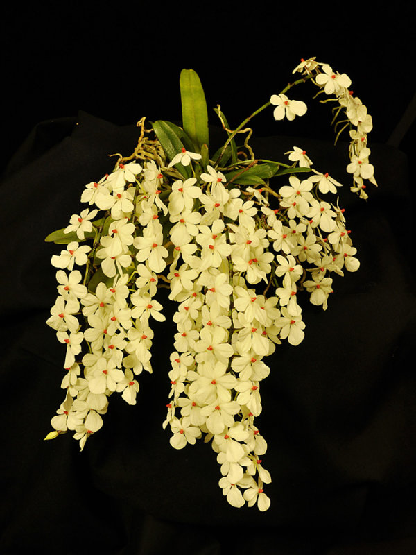 20124662  -  Aerangisnluteoalba var. rhodosticta  Jimmy  CCM/AOS  (85-points)  2-4-2012.jpg