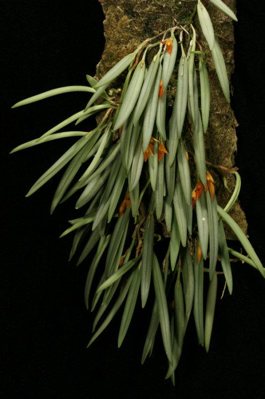 20124667  -  Acianthera  mendozae  Rojohn  CBR/AOS  2-182012.jpg