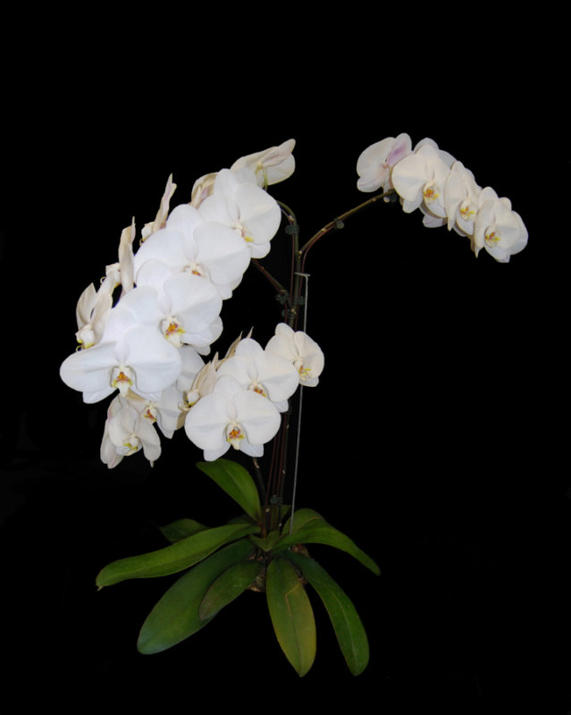 20162597  -  Phal.  Ming-Hsing Snow Angel  Ming-Hsing #2 MFM 103  CCM/AOS  (84-points)  5-14-2016  (Robert Bannister)