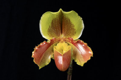 20124656  -  Paph Hsinying Pinolime Waxy  AM/AOS (81 points)  1-28-1012.jpg