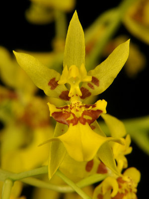 20124663  - Oncidium  lykaiosii Orchiddoc CBR/AOS  Close-up.jpg