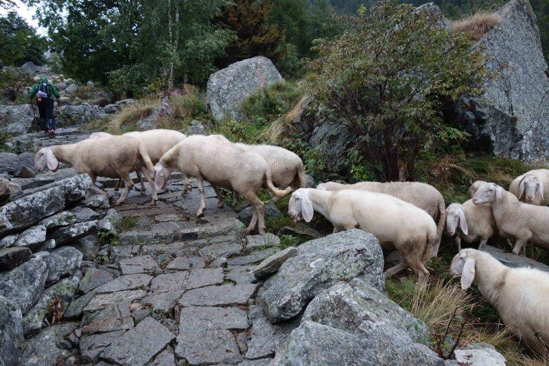 075 Sheep Crossing after Niel.jpg