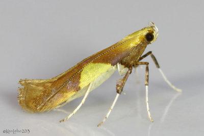 Caloptilia packardella #0620