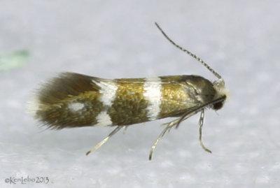 <i>Phylloporia bistrigella</i> #0183