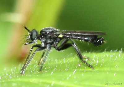 Robberfly - Laphria sp.