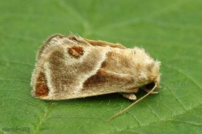 Shagreened Slug Moth Apoda biguttata #4669