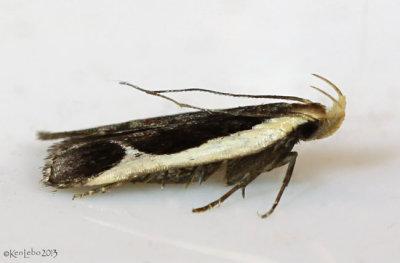 Cream-edged Dichomeris Moth Dichomeris flavocostella #2295