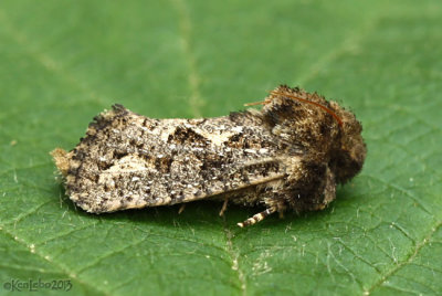Clemens Grass Tubeworm Moth Acrolophus popeanella #0373
