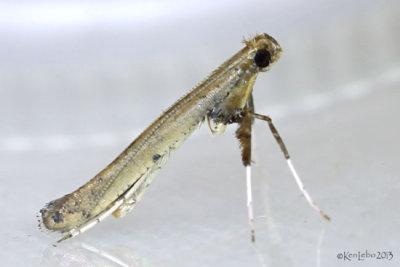 Sassafras Caloptilia Moth Caloptilia sassafrasella #0633