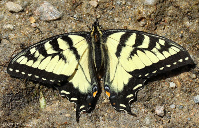 Canadian Tiger Swallowtail Papilio canadensis