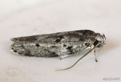 Dotted Antaeotricha Moth Antaeotricha humilis #1019