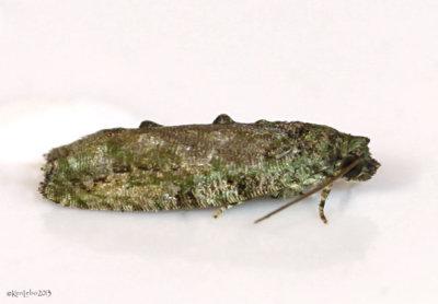 Maple Twig Borer Moth Proteoteras aesculana #3230