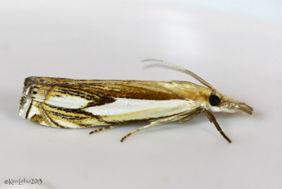 Double-banded Grass-veneer Moth Crambus agitatellus #5362