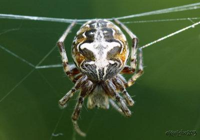 Labyrinth Spider Metepeira labyrinthea