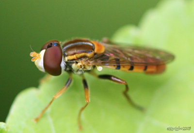 Syrphid Fly Toxomerus jussiaeae