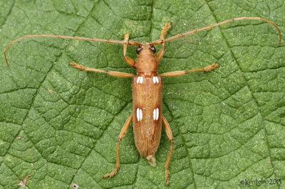 Ivory-marked Beetle Eburia quadrigeminata
