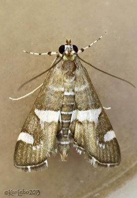 Hawaiian Beet Webworm Moth Spoladea recurvalis #5170