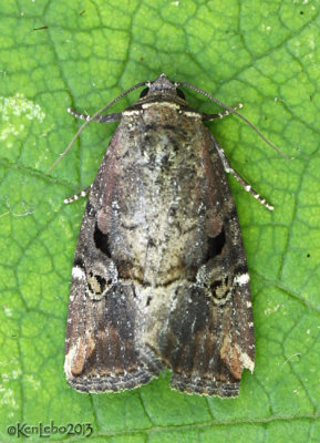 Variegated Midget Moth Elaphria versicolor #9678