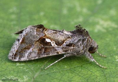 Soybean Looper Moth Chrysodeixis includens #8890