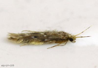 caddisfly - Hydroptilidae