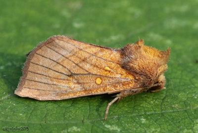 Sensitive Fern Borer Moth Papaipema inquaesita #9483